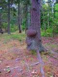 Tronco de árvore com burls Imagem de Stock