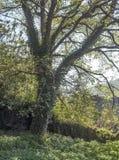 Tronco de árvore com folhas Fotografia de Stock