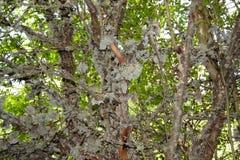 Tronco de árvore com musgo Imagens de Stock