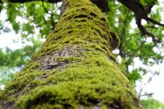 Tronco de árvore com musgo Fotografia de Stock