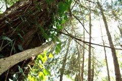 Tronco de árvore com a videira nas madeiras imagem de stock royalty free