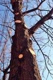 Tronco de árvore da castanha com a árvore vista dos ramos, da aparagem e da limpeza na mola, fundo brilhante azul do céu com fios foto de stock royalty free