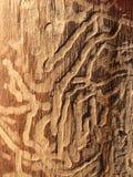 Tronco de árvore da goma de Scribbly Fotografia de Stock Royalty Free