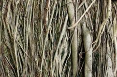 Tronco de árvore da raiz para um fundo Fotografia de Stock
