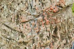 Tronco de árvore da textura imagem de stock