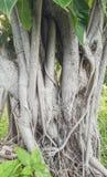 Tronco de árvore de Bodhi pequeno Fotos de Stock