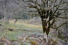 Tronco de árvore de veludo Fotografia de Stock Royalty Free