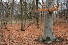 Tronco de árvore decíduo com a casca de madeira cinzenta e ramo com as folhas secas alaranjadas Vegetações rasteira de Parkland c fotos de stock royalty free