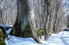 Tronco de árvore do inverno fotos de stock