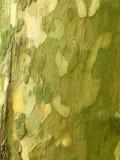 Tronco de árvore do sicômoro imagens de stock