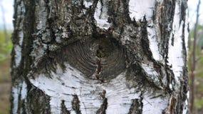 Tronco de árvore do vidoeiro com olho Fotografia de Stock