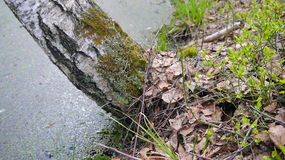 Tronco de árvore do vidoeiro de Reclinated Fotos de Stock Royalty Free