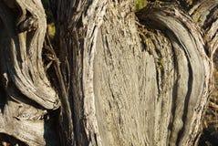 Tronco de árvore do zimbro no fim da tarde imagem de stock