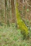 Tronco de árvore dobrado e coberto com os musgos em uma madeira Foto de Stock