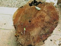 Tronco de árvore de madeira do corte da textura imagem de stock