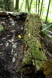 Tronco de árvore Mossy foto de stock
