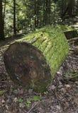 Tronco de árvore Mossy Imagens de Stock Royalty Free