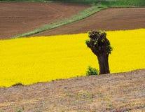Tronco de árvore na frente de um campo de flores amarelo Fotos de Stock