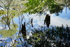 Tronco de árvore na lagoa Fotos de Stock Royalty Free