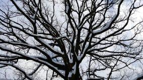 Tronco de árvore poderoso com os grandes ramos cobertos na neve Foto de Stock Royalty Free