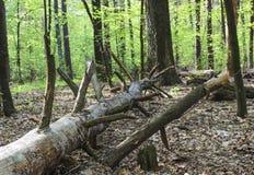 Tronco de árvore quebrado Fotografia de Stock Royalty Free