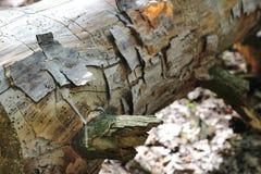Tronco de árvore quebrado Fotos de Stock