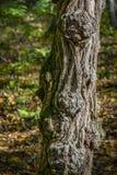 Tronco de árvore textured velho com a casca bonita enrugada na perspectiva das folhas caídas da floresta do outono foto de stock royalty free
