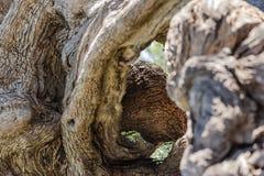 Tronco de árvore torcido Foto de Stock Royalty Free