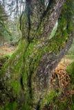 Tronco de árvore torcido estranho Imagem de Stock Royalty Free