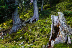 Tronco de árvore Tornado ôco-para fora, resistido Foto de Stock Royalty Free