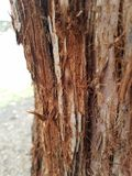 Tronco de árvore velho da sequoia vermelha fotografia de stock royalty free