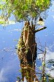 Tronco de árvore velho no pântano tropical imagens de stock
