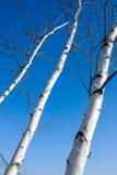 Tronco de árvores do vidoeiro Imagens de Stock Royalty Free
