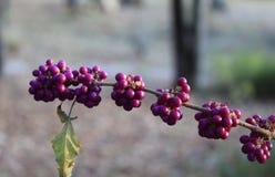 Tronco de beautyberries Imagen de archivo