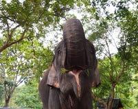 Tronco de la elevación del elefante que pide alimentar Imágenes de archivo libres de regalías