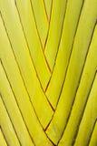 Tronco de la palmera del zigzag Imagen de archivo libre de regalías