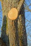 Tronco de Limetree com ramo grande reduzido foto de stock