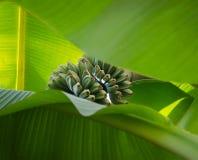 Tronco de los pequeños plátanos verdes vistos a través dos leavves grandes de la palma imagenes de archivo