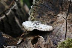 Tronco de madeira, com cogumelo da árvore, cogumelo, infestação, parasita Imagens de Stock Royalty Free
