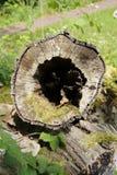 Tronco de madeira com furo no meio Fotos de Stock Royalty Free
