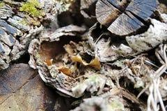 Tronco de madeira com furo no meio Fotografia de Stock Royalty Free