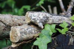 Tronco de madeira, madeira não convencional Imagem de Stock Royalty Free