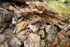 Tronco de madeira, madeira não convencional Fotografia de Stock