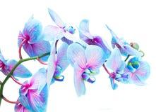 Tronco de orquídeas azules Imágenes de archivo libres de regalías