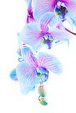Tronco de orquídeas azules Fotografía de archivo libre de regalías