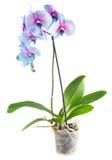Tronco de orquídeas azules Imagen de archivo