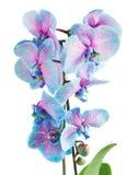 Tronco de orquídeas azules Foto de archivo