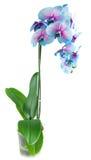 Tronco de orquídeas azules Imagen de archivo libre de regalías
