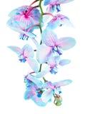Tronco de orquídeas azules Fotos de archivo libres de regalías