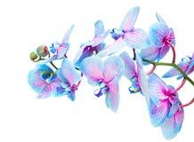 Tronco de orquídeas azules Fotografía de archivo